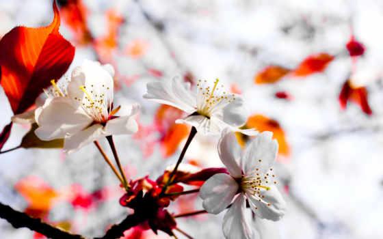 цветы сакура