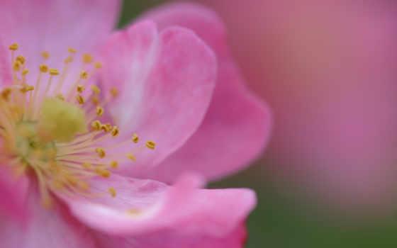 цветы, роза, лепестки, картинка, бутон, fleurs, очень, шиповник, розовые,