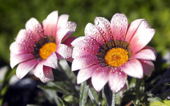 цветы, макро, роса, капельки, розовые,