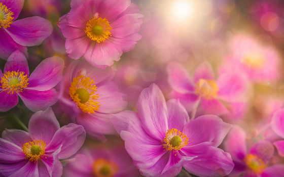 anemone, flowers, widescreen, розовые, георгины, free, desktop,