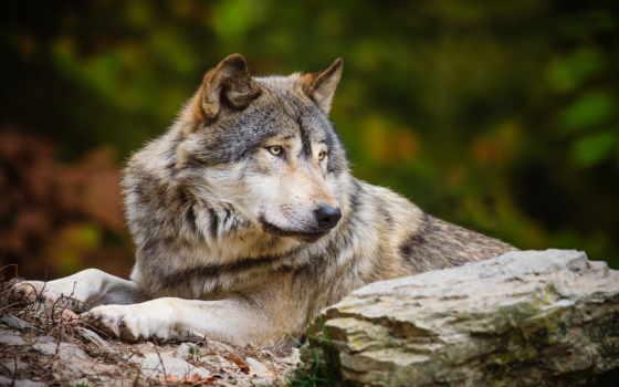 волк, волков, одинокий, коллекциях, яndex, посмотрите, коллекцию, лис, фотоохота,