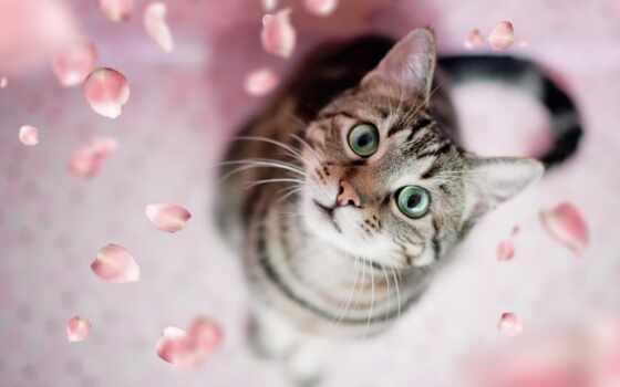 кот, kediler, глаз, domestic, short, смотреть, порода