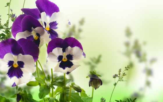 белом, fone, цветы