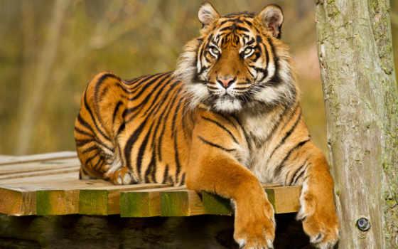 тигр, animals, versos