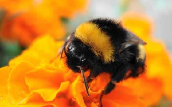 iphone, насекомое, пчелка, цветы, насекомые, bumble, striped,