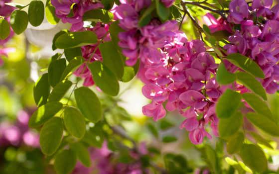 природа, весна, весны, breath, branch, acacia, солнечный, that, день, рисунки, дерево,