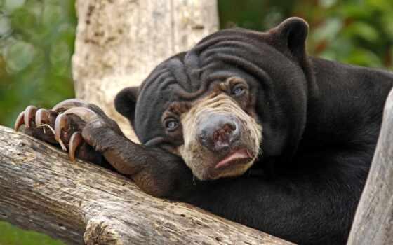 обои, zalevskij, фото, медведь, грустный, hd, крас