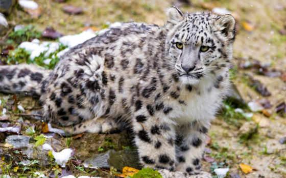 豹子周, барс, ирбис, снежный, picture,