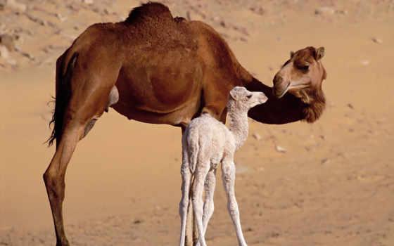 camel, верблюжонок, верблюды