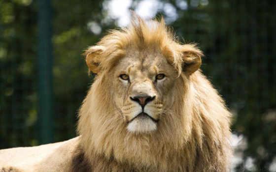 голова, lion, льва