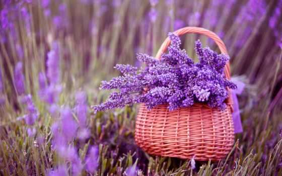 lavender, cvety, лаванды, оптом,