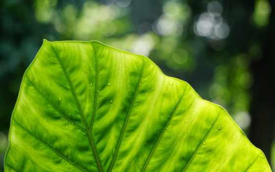 зелёный, лист, los, природа, saltamontes, color, макро,