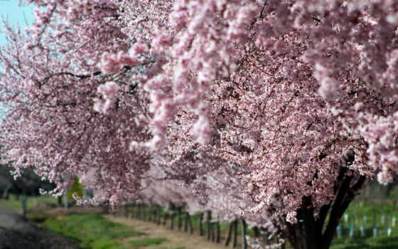 яndex, коллекциях, Сакура, дерево, garden, коллекция, природы, цветущая, srkaa,