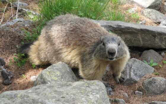hintergrundbild, animal, nuwallpaper, вид, detail, groundhog, пост, автор, title, tiere, junge