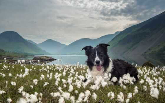 border, колли, собака, трава, free, устройство, colly, одуванчик, golov, картинка