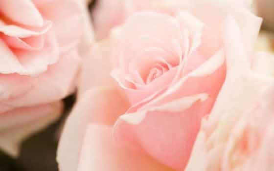 rosa, rosen, цветы