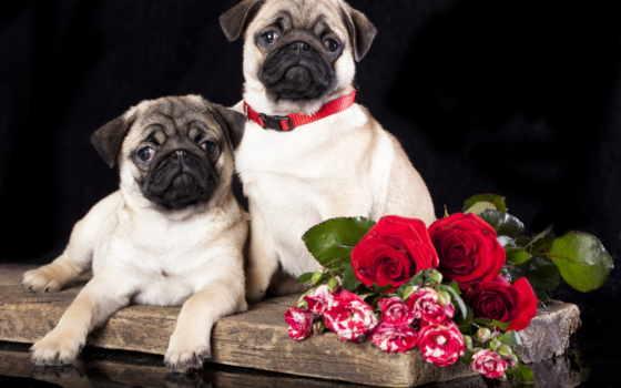 собаки, мопс, розы, картинка, zhivotnye, цветы, мопсы, два,