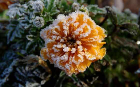 осень, иней, цветы, холод,