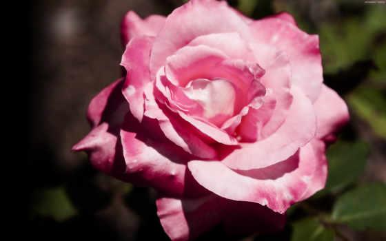роза, slide, показать, монитора, лепестки, прислал, помятая, cvety, розы, рейтинг, отцветает,