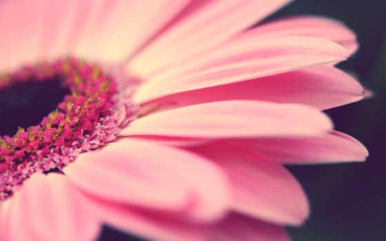 cvety, макро, цветы, лепестки, flowers, gerbera, прекрасные, ромашка, розовая,