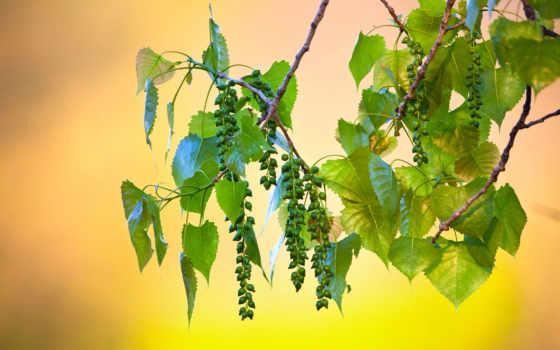 картинка, макро, листва, branch, деревьев, cvety, благо, тополь, тополя,