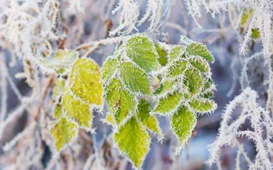 снег, листва, анимация, hoarfrost, телефон, branch, иней, winter, природа,