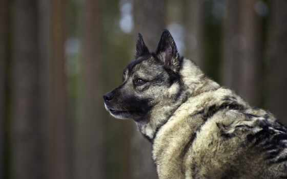 собака, взгляд