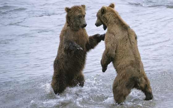 медведя, медведь, два