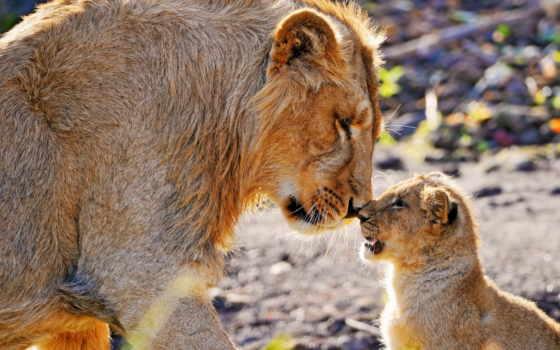 lion, детёныш, львы
