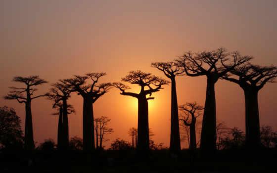 африка, закат, баобабы