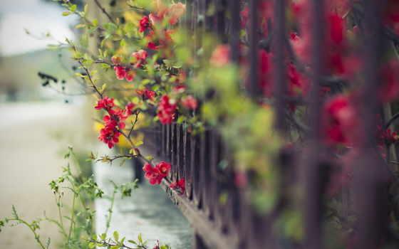 цветы, забор, макро