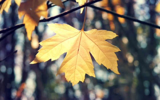листья, осень, макро, лист, maple, осенние, природа, картинка,