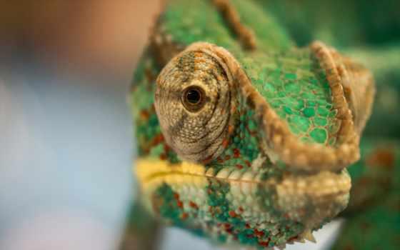 chameleon, desktop, макро, pictures, umad,