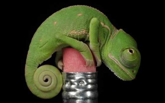 más, mundo, los, animales, del, pequeños, camaleón, chameleon,