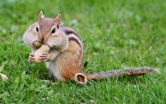 грызуны, je, бурундуки, бесплатные, tweets, nomog, twitter, zhivotnye, het, фотографий, eten,