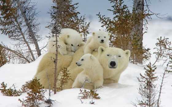 white, medvezhonok, ursa, медведь, снег, animal, хищник