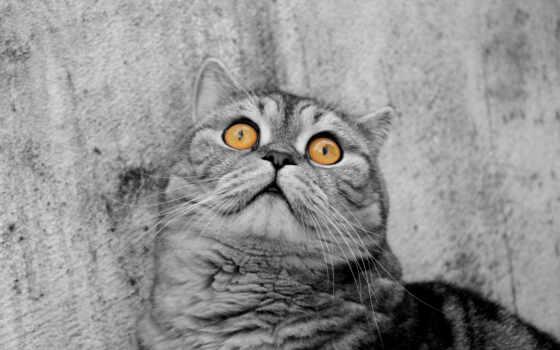 кот, глаза, серый, желтые, котик, монохром, картинка, животные,