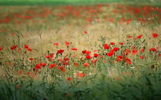 природа, цветы, поле
