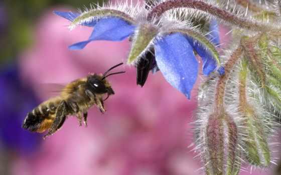 пчелы, цветы, пчелка