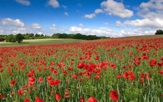 поле, цветы, маки, красные, небо, природа, oblaka, landscape,