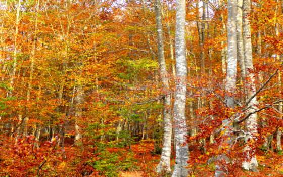 лес, береза, осень, точно, терем, painted, леса, картинка,