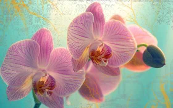 орхидеи, розовые, цветки, fone, разрешениях, разных, лепестки,
