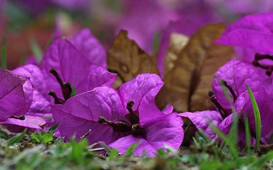 violeta, flor, flores, pixabay, gratis, planta, compra, imagens, фиолетовый,
