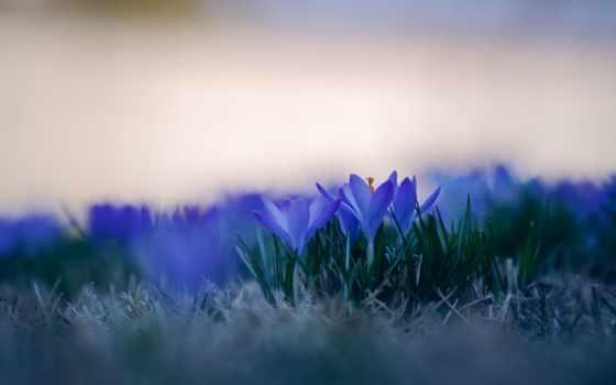 крокусы, huawei, fone, весенняя, красавица, размытом, мар, весна, pour, цветов,