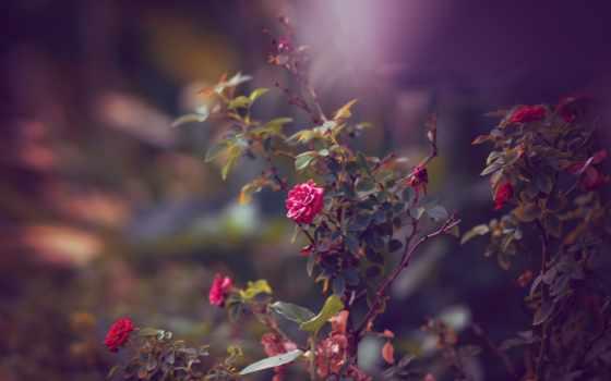 розы, cvety, red, роз, всех, которых, тег, есть,