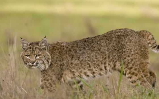 bobcat, desktop, images, stock, поле, getty, photos, фон, фото,