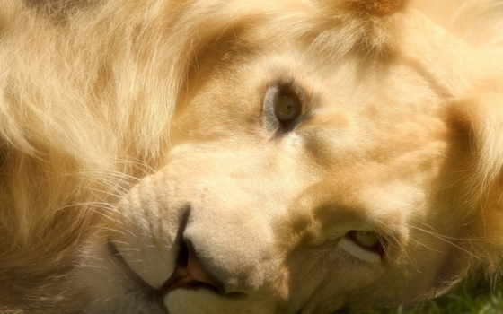lion, морда, adobe, photoshop, desktop, summer, schizandra,