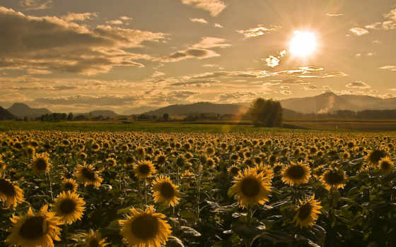 поле, summer, sunflowers