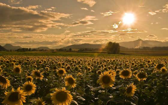 поле, summer, sunflowers