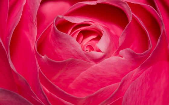 flowers, роза, розовый